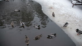 Αγριόχηνα στο χειμερινό ποταμό απόθεμα βίντεο