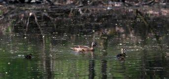 Αγριόχηνα στο χρόνο πάρκων την άνοιξη Πάπια πρασινολαιμών στη φύση στη λίμνη Φωτογραφία κάλυψης με τις πάπιες Πάπια που κολυμπά μ στοκ εικόνες με δικαίωμα ελεύθερης χρήσης