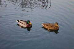 Αγριόχηνα Στοκ φωτογραφίες με δικαίωμα ελεύθερης χρήσης