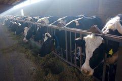 Αγροκτήματα γαλακτοκομικών βοοειδών στοκ εικόνες