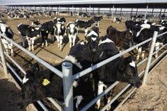 Αγροκτήματα γαλακτοκομικών βοοειδών στοκ εικόνα