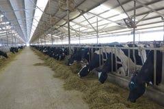 Αγροκτήματα γαλακτοκομικών βοοειδών στοκ εικόνες με δικαίωμα ελεύθερης χρήσης