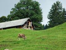 Αγροκτήματα και λιβάδια της περιοχής Ostschweiz στοκ εικόνες