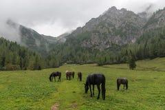 Αγροτικά άλογα στο αλπικό λιβάδι, Σλοβενία στοκ εικόνες