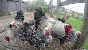 Αγροτικά κοτόπουλα, κοτέτσι κοτόπουλου, πουλερικά φιλμ μικρού μήκους