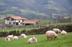 αγροτικά πρόβατα Στοκ εικόνες με δικαίωμα ελεύθερης χρήσης