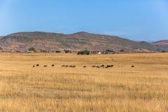 Αγροτικά σπίτια βοοειδών τοπίων Στοκ Φωτογραφία