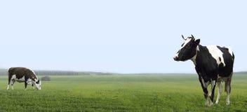 Αγροτικές αγελάδες που βόσκουν σε έναν πράσινο πόλο περιοχών Στοκ φωτογραφία με δικαίωμα ελεύθερης χρήσης
