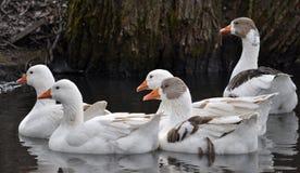 Αγροτικές χήνες στη λίμνη Στοκ φωτογραφία με δικαίωμα ελεύθερης χρήσης