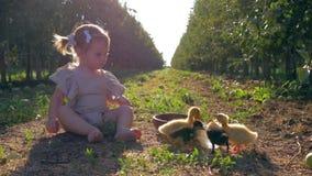 Αγροτική παιδική ηλικία, το χαριτωμένο κορίτσι παιδιών βόσκει τη μικρή συνεδρίαση πουλερικών στη χλόη στον κήπο φθινοπώρου κατά τ απόθεμα βίντεο