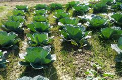 Αγροτική πρασινάδα φυτειών λάχανων στοκ φωτογραφίες