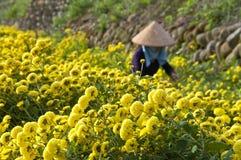 Αγροτική συγκομιδή της Daisy της Ταϊβάν Στοκ φωτογραφία με δικαίωμα ελεύθερης χρήσης