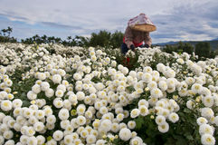 Αγροτική συγκομιδή της Daisy της Ταϊβάν Στοκ Εικόνες
