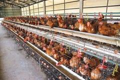 αγροτική σχάρα κοτόπουλου μωρών Στοκ Φωτογραφίες
