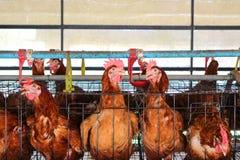 αγροτική σχάρα κοτόπουλου μωρών Στοκ εικόνα με δικαίωμα ελεύθερης χρήσης