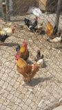 αγροτική σχάρα κοτόπουλου μωρών Στοκ εικόνες με δικαίωμα ελεύθερης χρήσης
