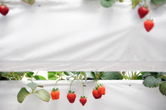 αγροτική φράουλα Στοκ Εικόνες