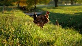 Αγροτική χλόη σιταριών κοτόπουλων απόθεμα βίντεο