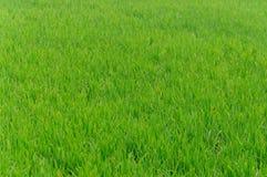 Αγροτική χρήση ρυζιού για το υπόβαθρο Στοκ Εικόνα