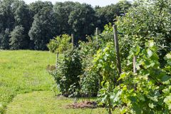 αγροτικός κήπος εξοχικών σπιτιών στην καυτή θερινή ημέρα του Ιουλίου Στοκ Φωτογραφίες