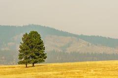 Αγροτικός κίτρινος τομέας θερινών τοπίων και πράσινα δέντρα με την αιθαλομίχλη στον αέρα Στοκ Εικόνα