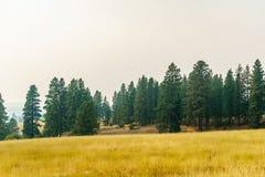 Αγροτικός κίτρινος τομέας θερινών τοπίων και πράσινα δέντρα με την αιθαλομίχλη στον αέρα Στοκ εικόνες με δικαίωμα ελεύθερης χρήσης