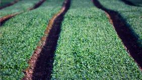 Αγροτικός τομέας με τις πράσινες σειρές Στοκ Φωτογραφίες