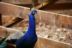 Αγροτικός φράκτης Mlae peacock πίσω Στοκ εικόνες με δικαίωμα ελεύθερης χρήσης