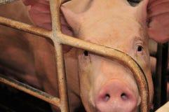 αγροτικός χοίρος στοκ εικόνες με δικαίωμα ελεύθερης χρήσης