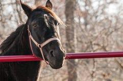 Αγροτικό άλογο στη φύση Στοκ Φωτογραφίες