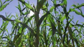 Αγροτικό βίντεο κινήσεων καλαμποκιού τομέων καλαμποκιού steadicam που καλλιεργεί πράσινη γεωργία Ηνωμένες Πολιτείες χλόης το αγρό Στοκ φωτογραφία με δικαίωμα ελεύθερης χρήσης