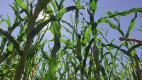 Αγροτικό βίντεο κινήσεων καλαμποκιού τομέων καλαμποκιού steadicam που καλλιεργεί πράσινη γεωργία Ηνωμένες Πολιτείες χλόης το αγρό Στοκ εικόνα με δικαίωμα ελεύθερης χρήσης