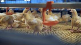 Αγροτικό εσωτερικό κοτόπουλου Νέο κοτόπουλο στα πουλερικά 4K φιλμ μικρού μήκους