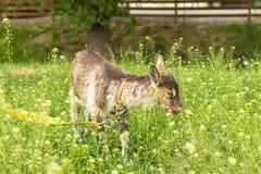 Αγροτικό ζώο στο λιβάδι στοκ εικόνα