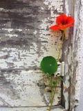 Αγροτικό ηλικίας χρωματισμένο λουλούδι ξύλου και nasturtium Στοκ εικόνες με δικαίωμα ελεύθερης χρήσης