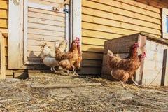 Αγροτικό κοτόπουλο πτηνών Στοκ φωτογραφία με δικαίωμα ελεύθερης χρήσης