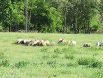 Αγροτικό λιβάδι και αυτόνομες αίγες στοκ φωτογραφία με δικαίωμα ελεύθερης χρήσης