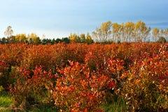 Αγροτικό πεδίο βακκινίων το φθινόπωρο Στοκ Φωτογραφία