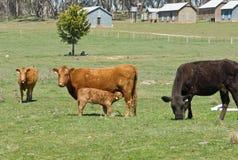 αγροτικό πεδίο αγελάδων Στοκ Εικόνες