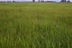 αγροτικό πράσινο ρύζι στοκ φωτογραφία