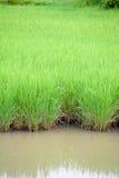 αγροτικό πράσινο ρύζι Στοκ Εικόνα