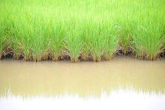 αγροτικό πράσινο ρύζι Στοκ Φωτογραφίες