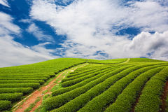 αγροτικό πράσινο τσάι στοκ φωτογραφία με δικαίωμα ελεύθερης χρήσης
