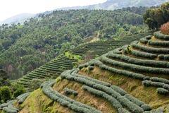 αγροτικό πράσινο τσάι στοκ εικόνα