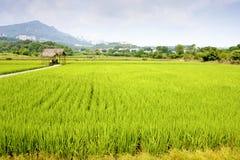 αγροτικό ρύζι στοκ φωτογραφία με δικαίωμα ελεύθερης χρήσης
