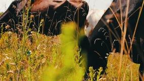 αγροτικό τοπίο ζώων καλοκαίρι πολλών sheeeps Βιομηχανία γεωργίας Βοσκή αγελάδων βοοειδών στον τομέα Αγελάδα γάλακτος που τρώει τη απόθεμα βίντεο