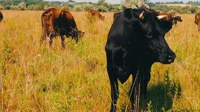 αγροτικό τοπίο ζώων καλοκαίρι πολλών sheeeps Βιομηχανία γεωργίας Βοσκή αγελάδων βοοειδών στον τομέα Αγελάδα γάλακτος που τρώει τη φιλμ μικρού μήκους