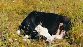 αγροτικό τοπίο ζώων καλοκαίρι πολλών sheeeps Βιομηχανία γεωργίας Ύπνος αγελάδων βοοειδών στον τομέα Ύπνος αγελάδων γάλακτος στη χ φιλμ μικρού μήκους
