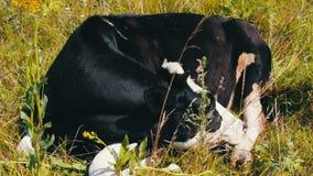 αγροτικό τοπίο ζώων καλοκαίρι πολλών sheeeps Βιομηχανία γεωργίας Ύπνος αγελάδων βοοειδών στον τομέα Ύπνος αγελάδων γάλακτος στη χ απόθεμα βίντεο