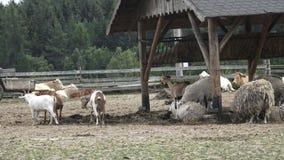 αγροτικό τοπίο ζώων καλοκαίρι πολλών sheeeps απόθεμα βίντεο